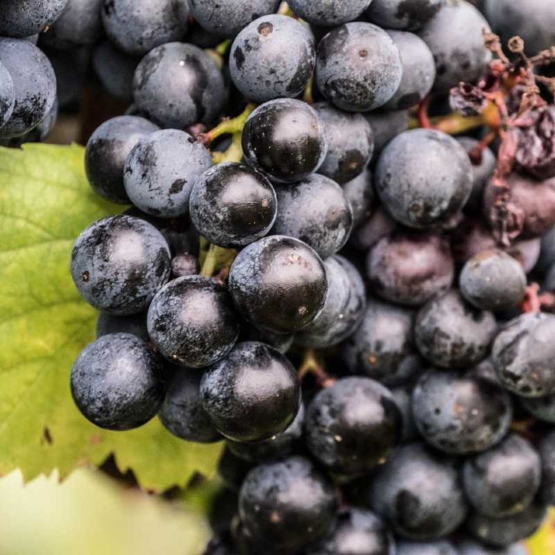 Richly-colored, almost black, wine grape