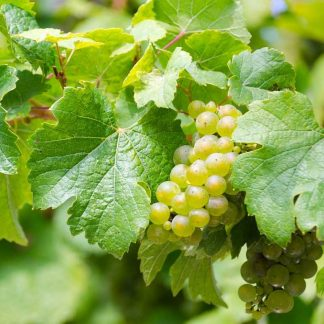 White Wine Grapes and Juice