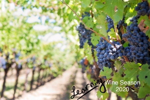 "A bright & sunny vineyard with ripe red wine grapes. Under the grapes there is text saying ""Learning Wine Season 2020."""